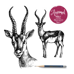 Hand drawn antelope animal vector illustration. Sketch isolated on white background with pencil and label banner