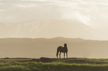 Iceland, Icelandic horse on meadow with volcanoes in background
