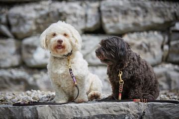 Two havanese dogs sitting waiting obedient with leashes in front of stones