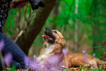Happy dog laying on ground in forest and photographed by its owner during autumn. Colorful flowers and fallen leaves all around.