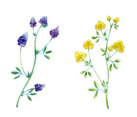 Watercolor illustration of alfalfa