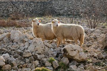 Sheep on pasture - two female long-tailed sheep, island Pag, Croatia, paski sir, Pag cheese, sheep cheese, agriculture, bio food, eco farms