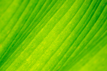 Wall Mural - background Close up banana leaf green banana leaf background abstract
