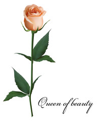 Realistic peach-colored rose, Queen of beauty