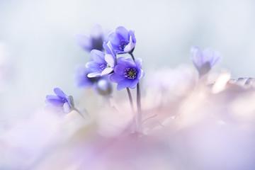 Liverworts flower, Hepatica nobilis