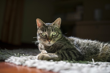 Portrait of starring cat lying on a carpet at home