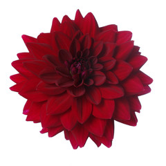 Burgundy dahlia flower isolated on white background.