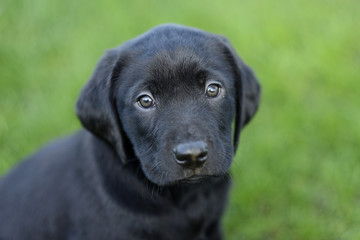 Portrait of black Labrador puppy