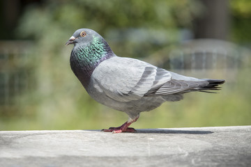 full body of homing pigeon bird in green park
