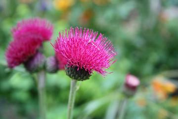 pink Blüte der Distel