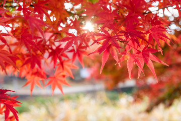 Red Maple leaves in corridor garden with sunlight background