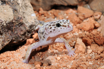 Leopardgecko (Eublepharis macularius) - leopard gecko