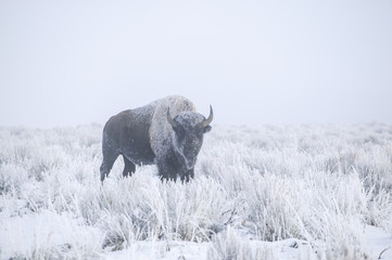 Deurstickers Bison Winter Bison