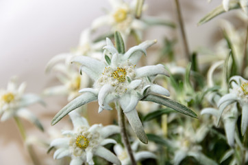 White Leontopodium nivale, edelweiss mountain flowers, close up