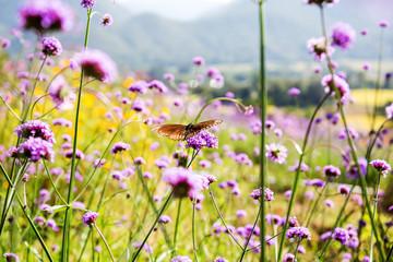 motyl na purpurowy kwiat