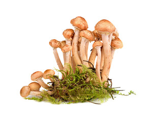 Group of honey fungus