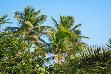 Palm trees in a tropical garden. Blue sky background.