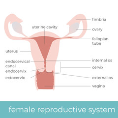 vector illustration of female reproductive system. great for educational purpose.