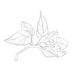 Vector illustration of a sprig of basil. A bunch of basil leaves. Seasoning. Stylized plant. Linear Art.