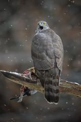 Winter goshawk
