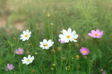 group of white and  pink purple cosmos flower in garden, soft light