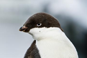 Young Adelie penguin(pygoscelis adeliae)on the seashore Davis,East Antarctica