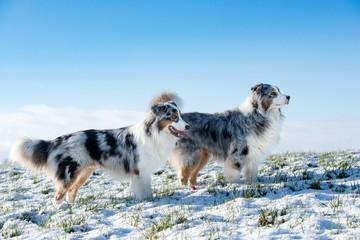Grupa dwóch całkiem Owczarek australijski w zimie stojąc na zaśnieżonej łące nad nimi błękitne niebo wygląda na bok.