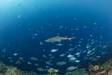 Diving with whitetip reef shark underwater
