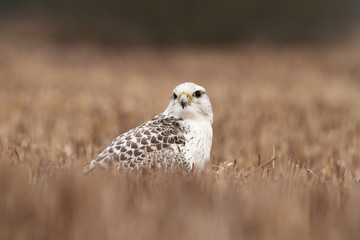 Falco rusticolus. Expanded in Arab states. Photographed in Czech. Bird. Nature. Hunter bird. Predator.