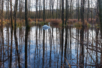 White swan in the flooded forest