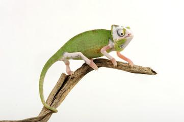 Jemenchamäleon (Chamaeleo calyptratus) mit Teilalbinismus - Veiled chameleon