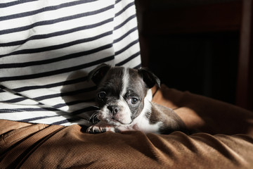 Juno the Boston Terrier Pug at play