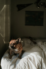 French Bulldog Puppy Dog Laying on Bed in Bedroom