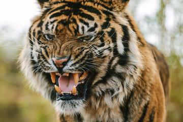 angry looking and wild roaring sumatran tiger