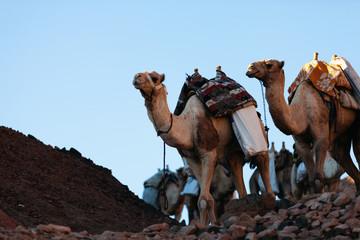 Camel caravan in Egypt Sinai desert
