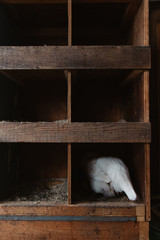 View from behind of white hen laying eggs in a nest box.