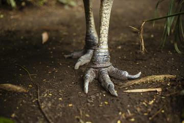 Northern Cassowary feet