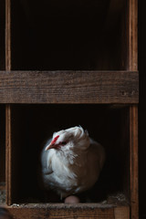 White hen laying eggs in a nest box.