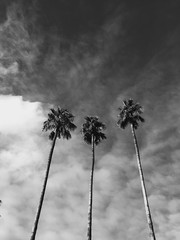 Black and white image of three palm trees