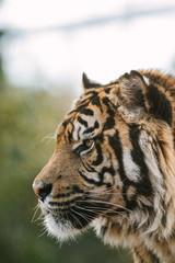 profile portrait of sumatran tiger