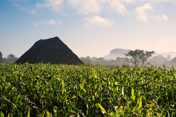 tobacco field and drier in the Vinales Valley (Cuba)