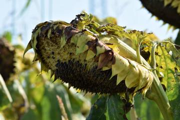 Wall Murals Sunflower Helianthus annuus Solros Auringonkukka ヒマワリ Seme Zonnebloem Tournesol Girasole Almindelig solsikke Sunflower seed Sonnenblume دوار الشمس