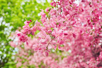 Decorative red apple tree flowers blossoming at spring time