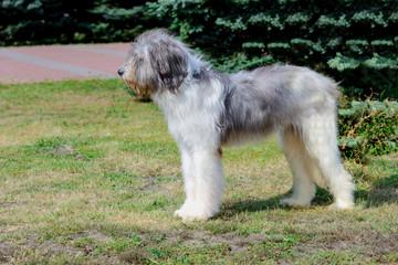 Romanian Shepherd dog profile. Romanian Mioritic Shepherd Dog is on the grass.