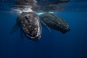 Humpback whales and Calf  underwater