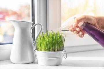 Woman spraying wheat grass on windowsill
