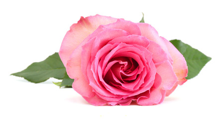Single beautiful pink rose isolated on white background