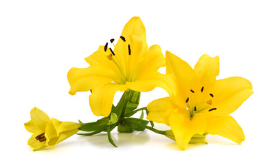 yellow lilies isolated on white background