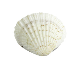 Scallop seashell isolated on white