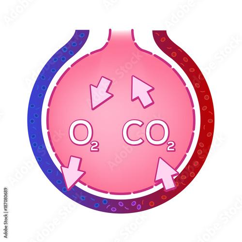 Alveolus in lung. gas exchange vector . anatomy concept\